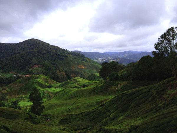 Poh tea plantation