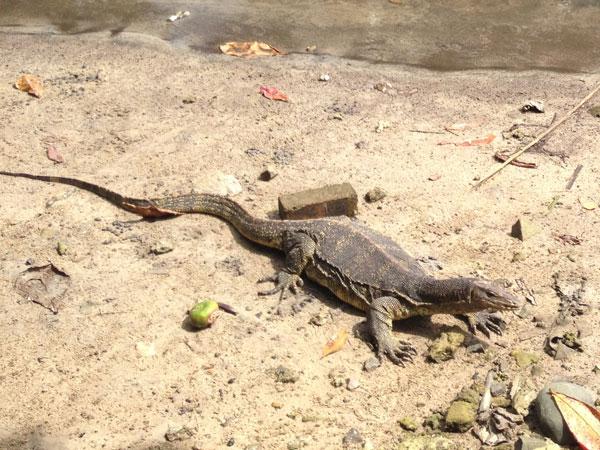 monitor lizards everywhere
