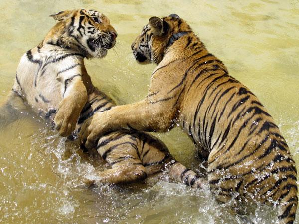 Tiger Temple@ Kanchanaburi