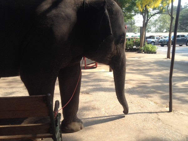 An elephant tied to a park bench with a piece of string...